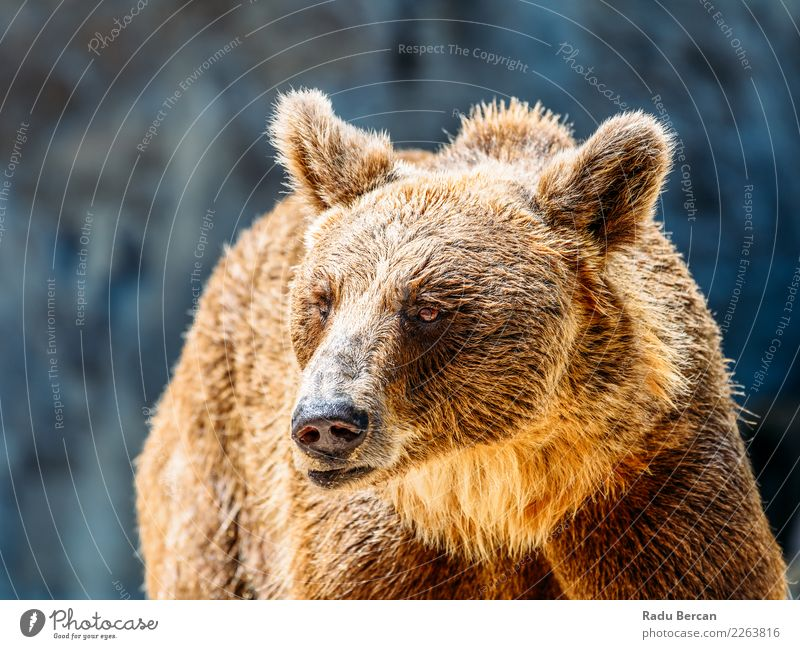 Natur Tier schwarz braun wild Wildtier stehen groß Säugetier Europäer Tiergesicht nordisch Bär Alaska Fleischfresser Taiga