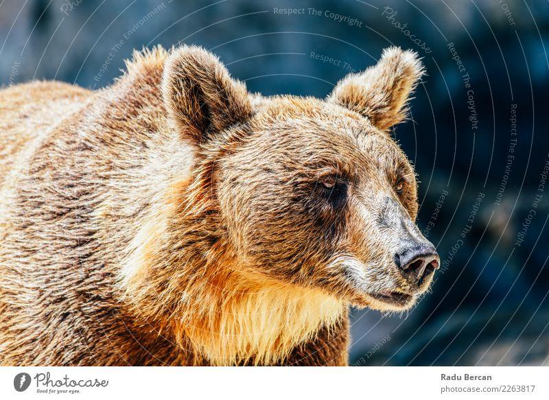 Braunbär (Ursus Arctos) Porträt Tier Wildtier Tiergesicht 1 stehen groß wild braun schwarz Energie Natur Bär Hintergrund Tierwelt Säugetier Grizzly ursus arctos