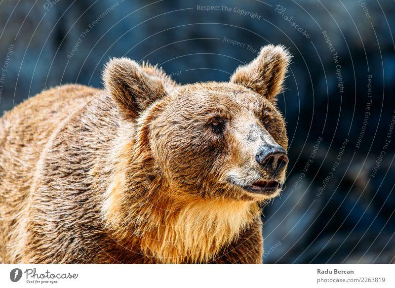 Porträt des Braunbären (Ursus Arctos) Gesicht Sommer Umwelt Natur Tier Wald Fell Wildtier Tiergesicht 1 beobachten stehen Aggression sportlich groß schön