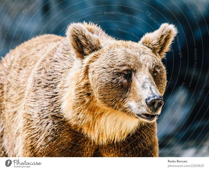 Braunbär (Ursus Arctos) Porträt Tier Wildtier Tiergesicht Zoo 1 stehen groß wild braun schwarz Neugier Bär Hintergrund Tierwelt Säugetier Grizzly ursus arctos