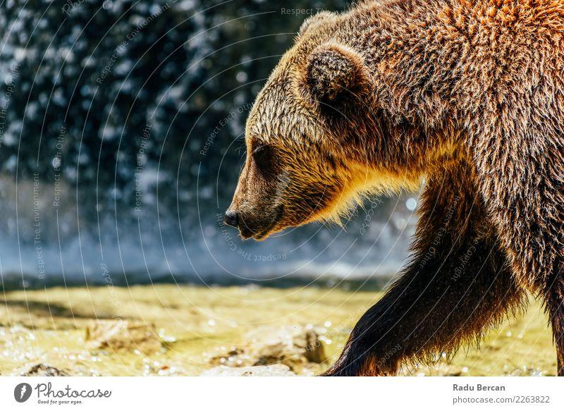 Natur Tier Wald braun wild Wildtier laufen groß Säugetier Europäer Tiergesicht nordisch Bär Alaska Fleischfresser Taiga