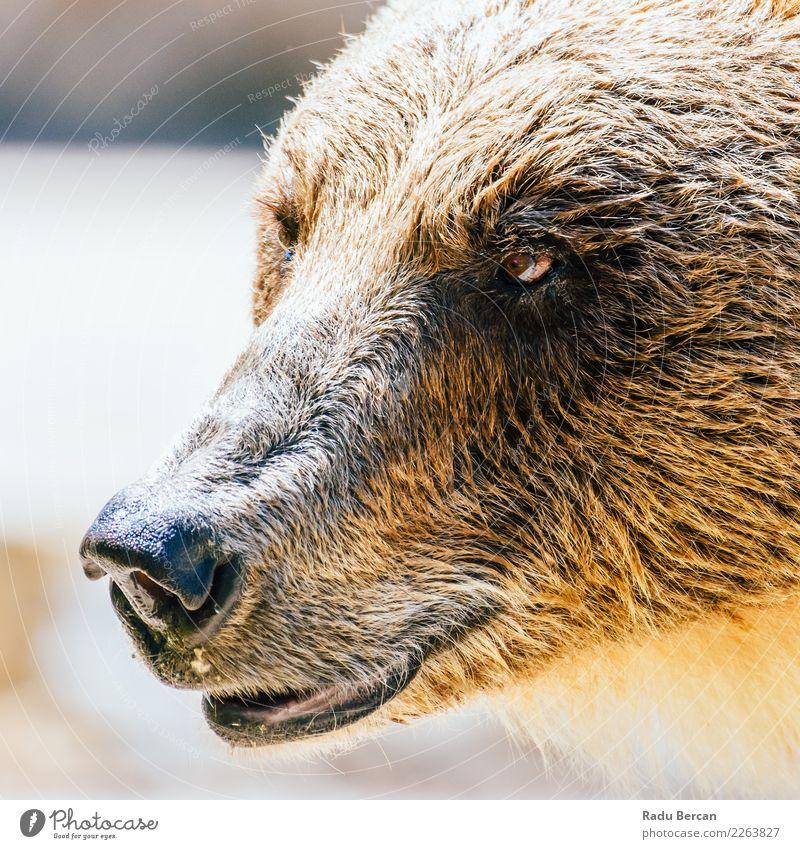 Braunbär (Ursus Arctos) Porträt Natur Tier Wildtier Tiergesicht 1 Aggression bedrohlich groß wild braun gefährlich Bär Hintergrund Tierwelt Säugetier Grizzly