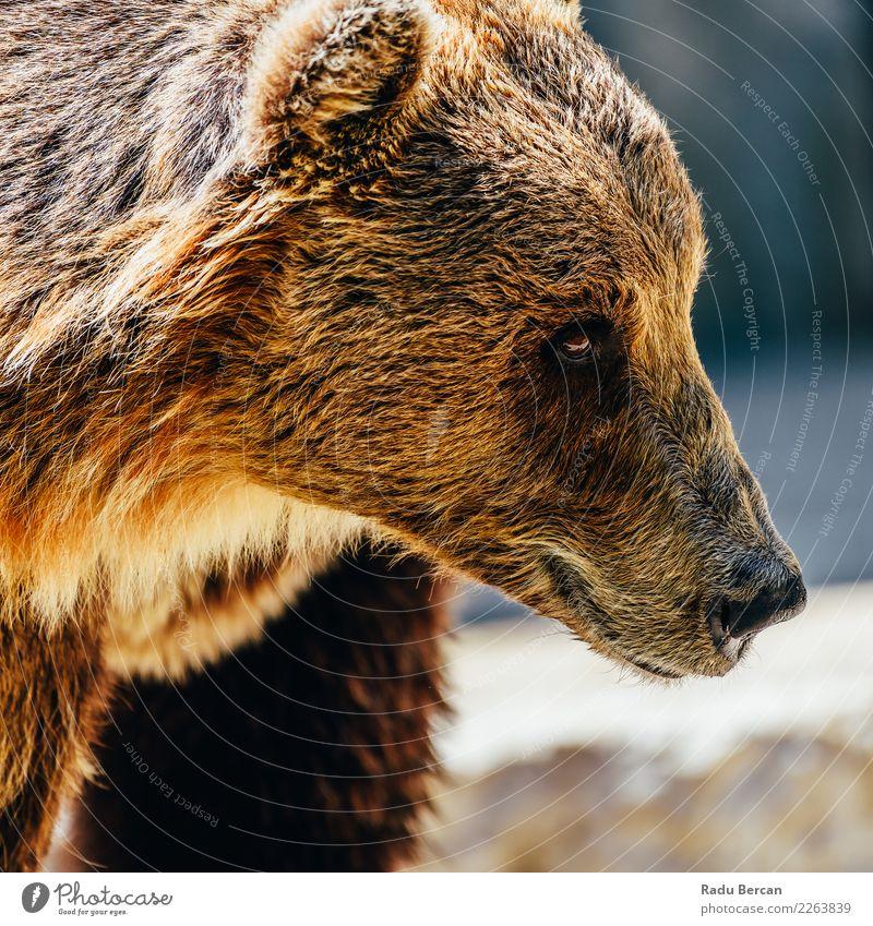 Braunbär (Ursus Arctos) Porträt Umwelt Natur Tier Wildtier Tiergesicht 1 groß wild braun schwarz Bär Hintergrund Tierwelt Säugetier Grizzly ursus arctos