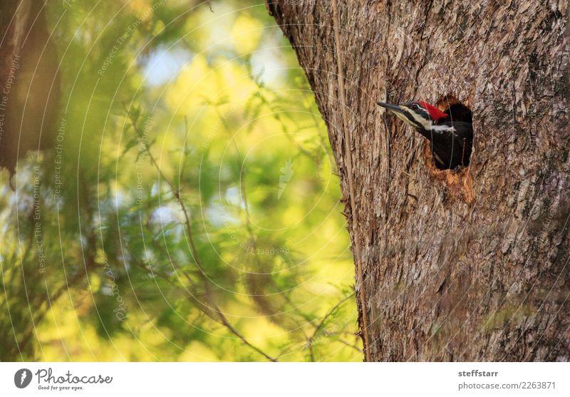 Männlicher pileated Spechtvogel Dryocopus pileatus Mann Erwachsene Baum Garten Park Tier Vogel 1 Holz braun grün Stapelspecht Nest Golfloch Zypressenbaum