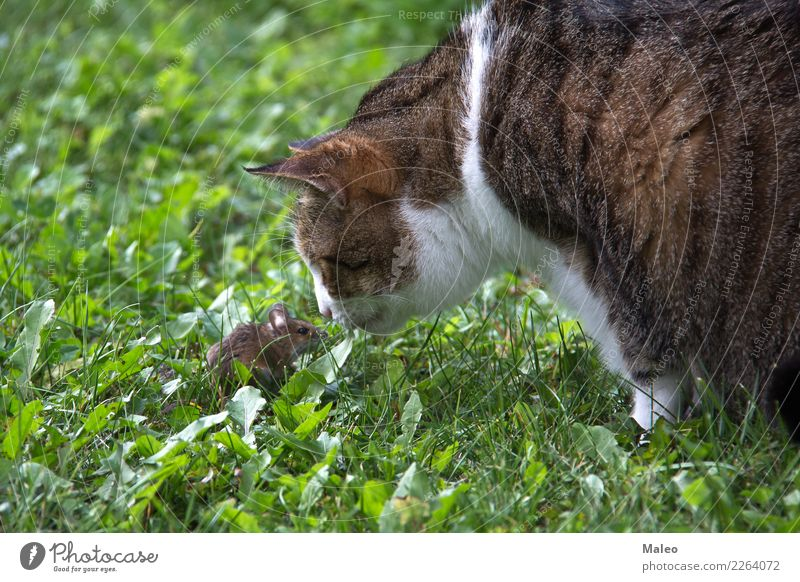 Katze und Maus Hauskatze Spielen Haustier Tier Fleischfresser Katzenauge Katzenbaby Fell Blick Säugetier Natur Nase Pfote Liebling pussycat