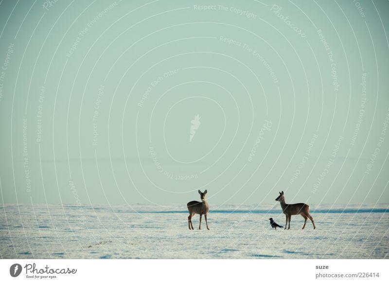Schwarzer Peter Winter Schnee Umwelt Natur Landschaft Tier Himmel Wolkenloser Himmel Horizont Wildtier 3 kalt Reh Rabenvögel warten Neugier Schneedecke