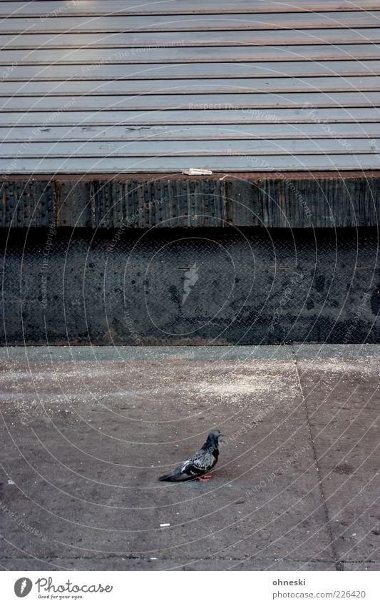 Straßenvogel Stadt ruhig Einsamkeit Tier grau Stein Mauer Vogel Fassade Beton geschlossen trist Taube Schädlinge Jalousie