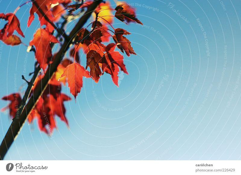 Textfreiraum rechts Umwelt Natur Herbst Baum Blatt blau gelb orange Herbstlaub Herbstfärbung Indian Summer Ast Kupferkirsche kupfer Felsenbirne Farbfoto