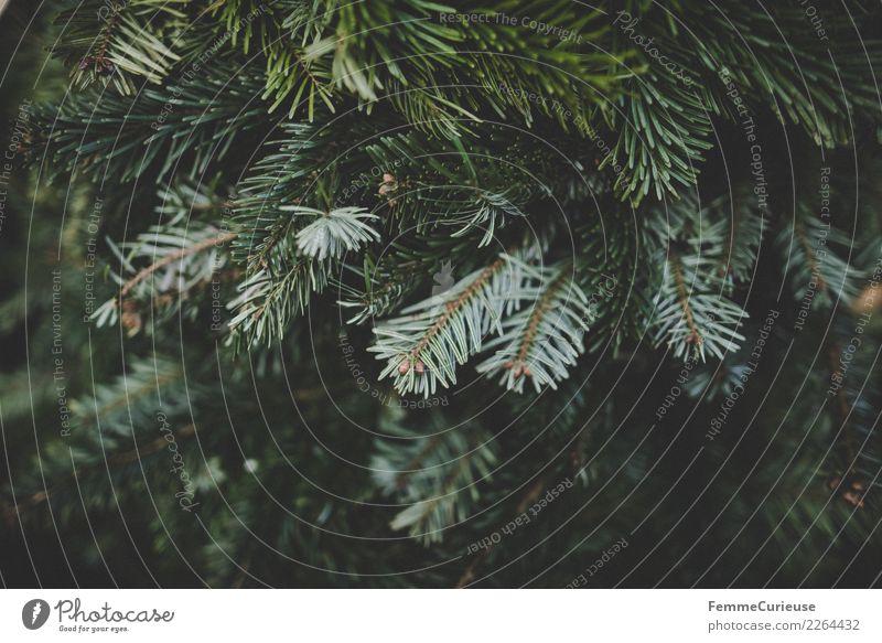 Fir branches Natur grün Zweige u. Äste Tannenzweig Winter Weihnachten & Advent Dekoration & Verzierung Pflanze Tannennadel Farbfoto Außenaufnahme