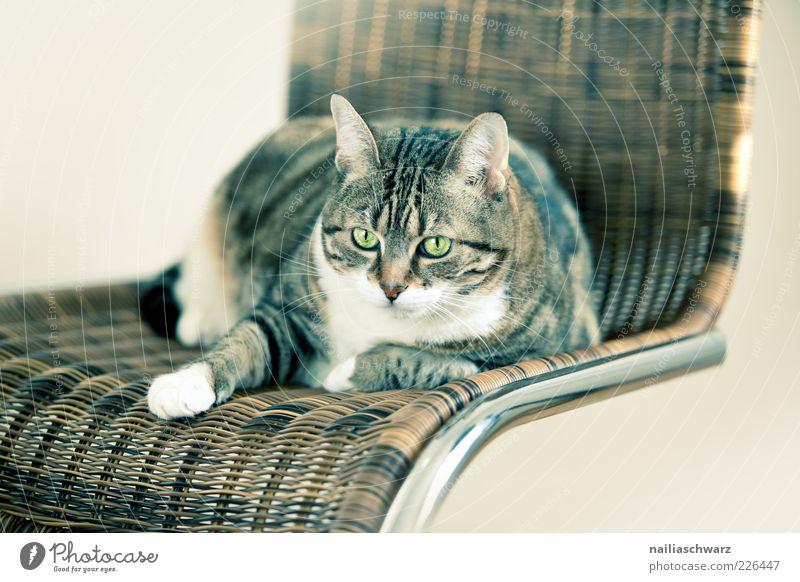 Katzenstuhl Tier Haustier Tiergesicht 1 Stuhl Rattanstuhl Metall liegen Blick ästhetisch braun silber weiß Farbfoto Gedeckte Farben Innenaufnahme Menschenleer