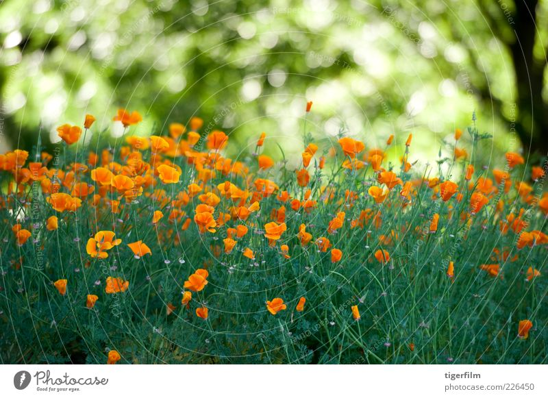 Mohnfeld Mohnblumen Blume orange Licht grün Kalifornien Baum Pflanze Garten abstrakt Natur Blatt Textfreiraum Hintergrundbild