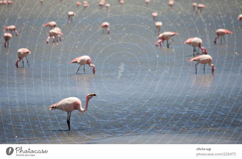 Flamingos Ferne Safari Umwelt Natur Landschaft Tier Wasser Küste Seeufer Lagune Wildtier Vogel Flügel Tiergruppe Fressen blau rosa Südamerika Bolivien Peru