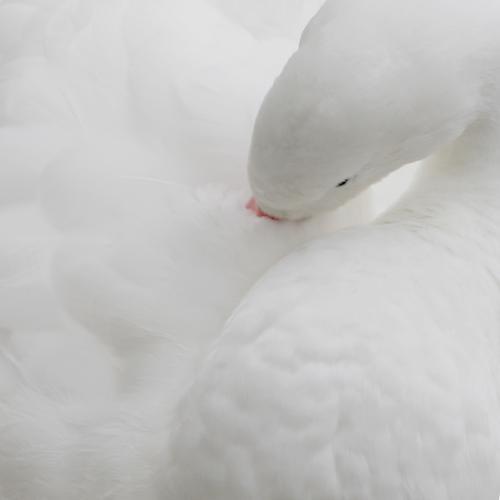 Weiß & Weich Tier Nutztier Wildtier Vogel Schwan Tiergesicht Flügel 1 elegant niedlich Sauberkeit weich weiß Reinigen Feder Auge Daunen Gans Außenaufnahme