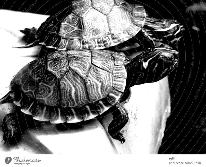 back to the roots - turtle1 Schildkröte Tier Aquarium Findet Nemo Rocker krabbeln Leben füttern klein gepanzert Schilder & Markierungen Dude Wildtier alt