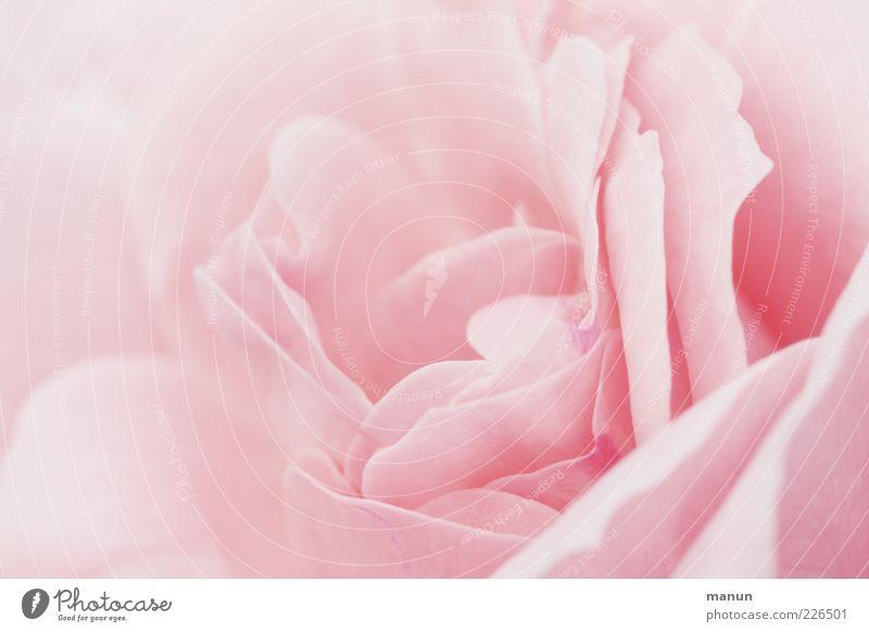 Rosenblätter schön Natur Frühling Blume Blatt Blüte Rosenblüte Blühend ästhetisch Duft authentisch elegant natürlich Originalität weich rosa Farbfoto
