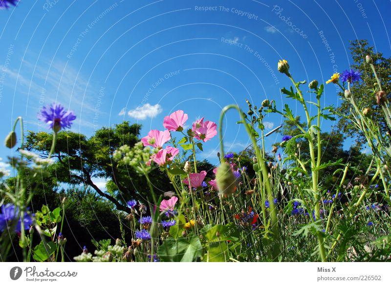 Sommerwiese Umwelt Natur Pflanze Wolkenloser Himmel Schönes Wetter Blume Gras Blatt Blüte Wiese Blühend Duft Wachstum schön mehrfarbig Blumenwiese Mohn