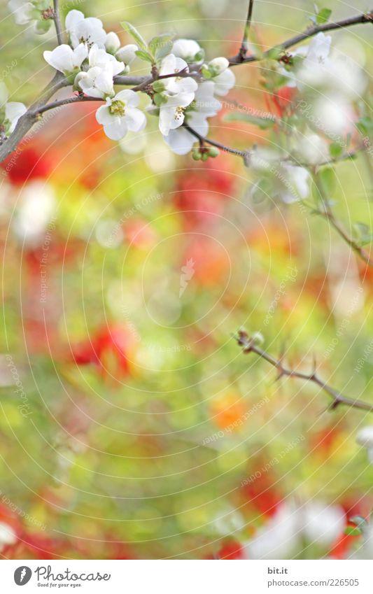 Kirschstrudel[LUsertreffen 04|10] Natur Pflanze grün Sommer gelb Frühling Blüte frisch Blühend Frühlingsgefühle Zweige u. Äste Kirschblüten Unschärfe Kirschbaum mehrfarbig Obstbaum