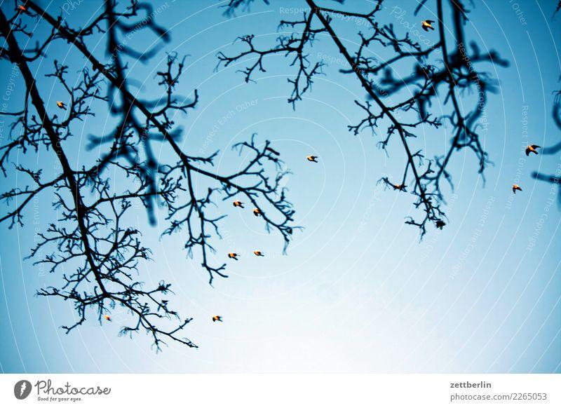 Zwölf Tauben Berlin Hauptstadt Stadt Stadtleben Baum Ast Zweig Himmel Himmel (Jenseits) Wolkenloser Himmel Textfreiraum Menschenleer Vogel stadttaube fliegen