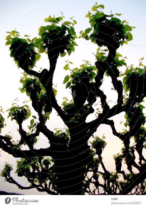 Treestreet 2 Natur Wasser Himmel Baum grün blau Straße Wald Wiese Wege & Pfade frisch Köln Allee Fußgänger Rhein Pappeln