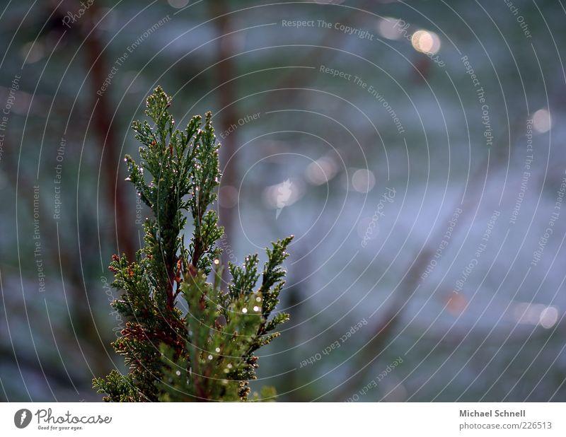 Nadelgrün Natur grün Baum ruhig nass natürlich Spitze Anschnitt Nadelbaum Tannenzweig