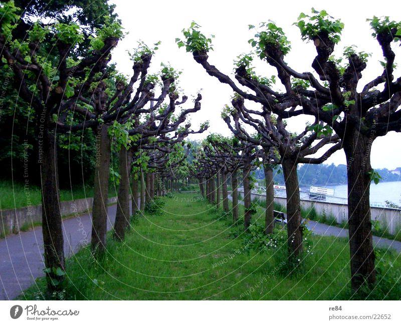 treestreet Baum Wald grün Köln Porz Köln-Zündorf Wiese Allee Fußgänger frisch Pappeln Rhein Kontrast Himmel Straße Wasser blau Natur Wege & Pfade
