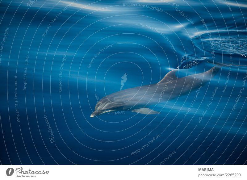 wild dolphin Natur Tier Wasser Sommer Meer Insel Schifffahrt Wasserfahrzeug Wildtier 1 Schwimmen & Baden blau grau Africa Atlantic Atlantic Ocean Canary Islands