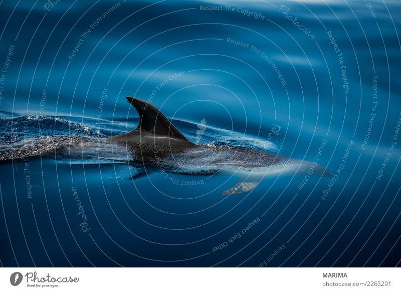 wild dolphin Natur Tier Wasser Sommer Meer Insel Schifffahrt Wasserfahrzeug Wildtier 1 Schwimmen & Baden blau grau Atlantic Atlantic Ocean Canary Islands