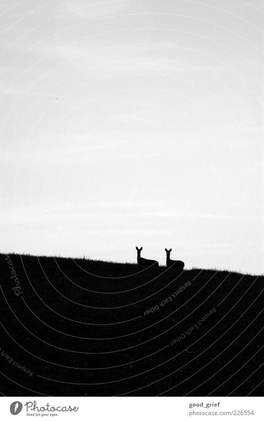 zu zweit ist alles schöner. Umwelt Natur Himmel Wolken Schönes Wetter Wiese Hügel Tier Wildtier Reh Rehkitz Blick stehen Schwarzweißfoto Außenaufnahme