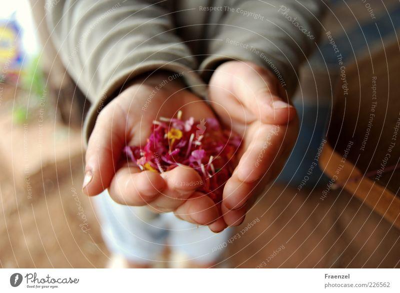 Nimm! Mensch Kleinkind Kindheit Hand 1 1-3 Jahre Pflanze Außenaufnahme Morgen Unschärfe Vogelperspektive zeigen haltend Blütenblatt Sammlung