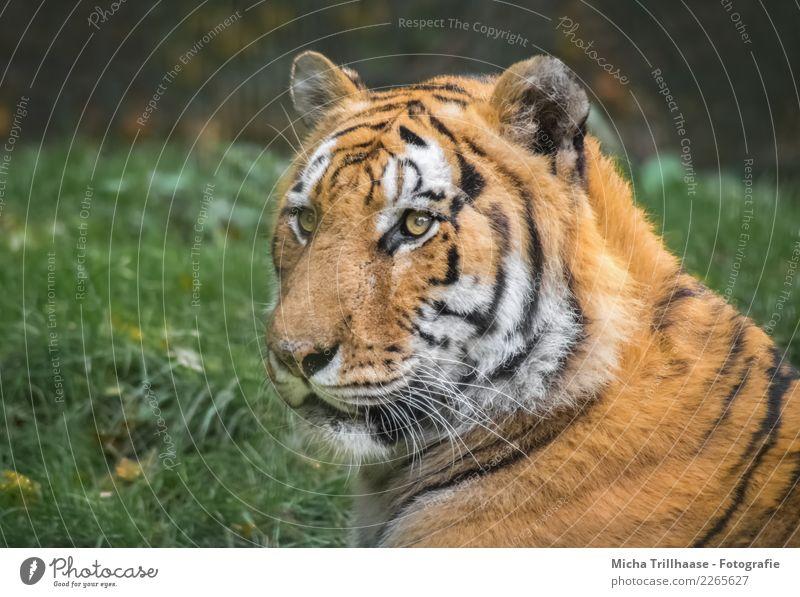 Sibirischer Tiger Natur Pflanze grün weiß Sonne Tier Wald schwarz Umwelt Auge Wiese Gras orange leuchten liegen glänzend