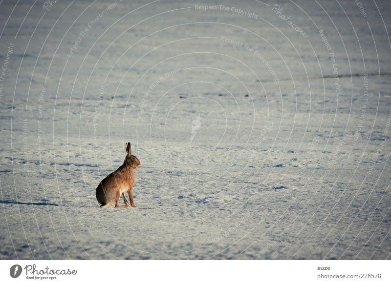 Angsthase Natur Einsamkeit Tier Winter Umwelt Schnee klein Feld Wildtier sitzen warten authentisch Urelemente niedlich einzeln beobachten