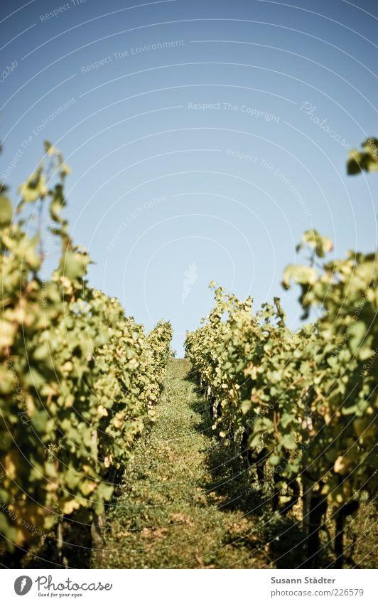 wie war das noch als alles grün war? Pflanze Nutzpflanze Hügel Blühend Weinbau Weinberg Weintrauben Weinlese Herbst Wolkenloser Himmel Ernte Farbfoto Tag