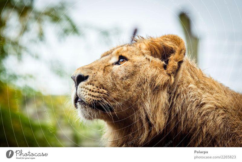 Weiblicher Löwe mit nassem Pelz Gesicht Safari Mann Erwachsene Zoo Natur Tier Pelzmantel Katze groß wild braun schwarz Kraft Macht gefährlich Kopf Raubtier