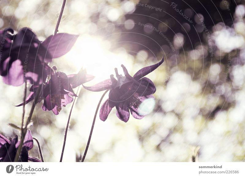 Here comes the sun Natur Frühling Sommer Schönes Wetter Pflanze Blume Blüte Wildpflanze leuchten hell violett weiß harmonisch Unschärfe Blütenblatt Blühend