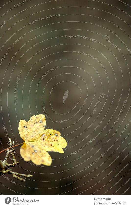 früher, später Natur schön Pflanze Blatt Einsamkeit gelb Herbst Umwelt Stimmung klein braun natürlich trist einzigartig Wandel & Veränderung einfach