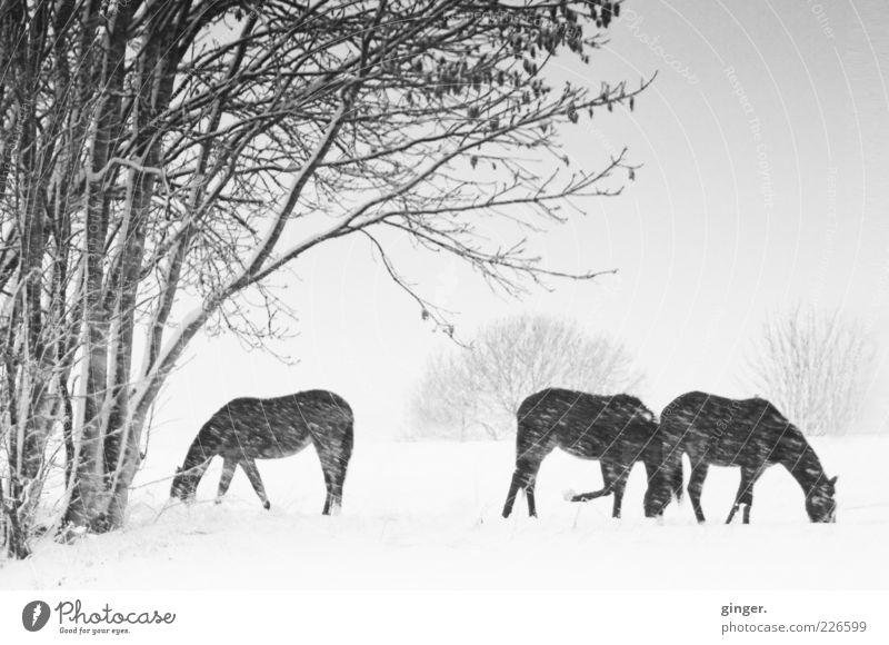 Winterpferde im Schneegestöber Natur Pflanze Tier Landschaft Umwelt Schneefall Tiergruppe Pferd genießen Weide Haustier schlechtes Wetter Nutztier