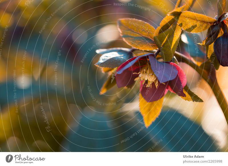 Christrose (Helleborus) Weihnachten & Advent Natur Pflanze Frühling Winter Blume Blüte Garten Park Blühend glänzend leuchten natürlich rot Schneerose Unschärfe