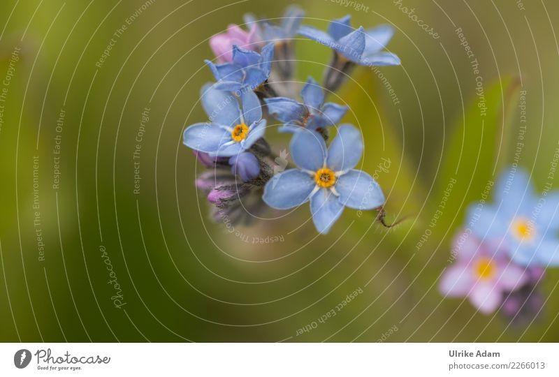 Blaue Blüten des Vergissmeinnicht (Myosotis) harmonisch Wohlgefühl Zufriedenheit Erholung ruhig Meditation Valentinstag Muttertag Trauerfeier Beerdigung Natur