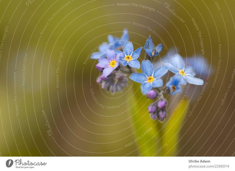Vergissmeinnicht (Myosotis) Pflanze blau Sommer schön grün Blume Erholung ruhig Blüte Liebe Frühling Innenarchitektur Garten Freundschaft Zufriedenheit leuchten