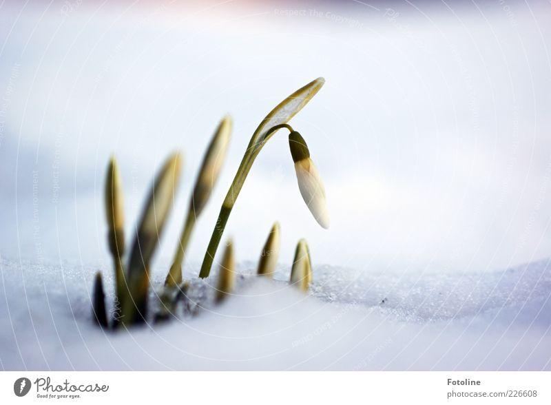 Frühling in Sicht? Natur grün weiß Pflanze Blume Winter kalt Schnee Umwelt Landschaft Garten Blüte hell Eis nass natürlich