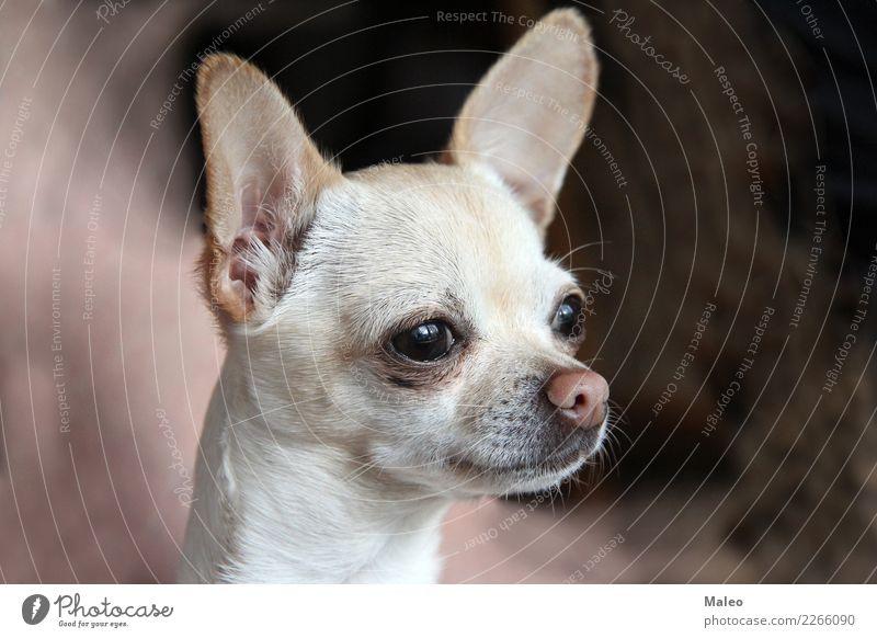 Chihuahua Hund Tier Haustier Säugetier schön süß Liebling Tierporträt Welpe klein Terrier Nase Chihuahua Desert Rassehund weiß Blick Reinrassig Kopf