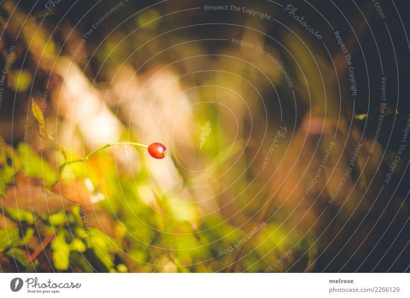 red one ... Natur Herbst Schönes Wetter Pflanze Gras Sträucher Wildpflanze Beerensträucher Frucht Wald Farbfleck Einsamkeit Unschärfe Farbe lichtvoll Blühend