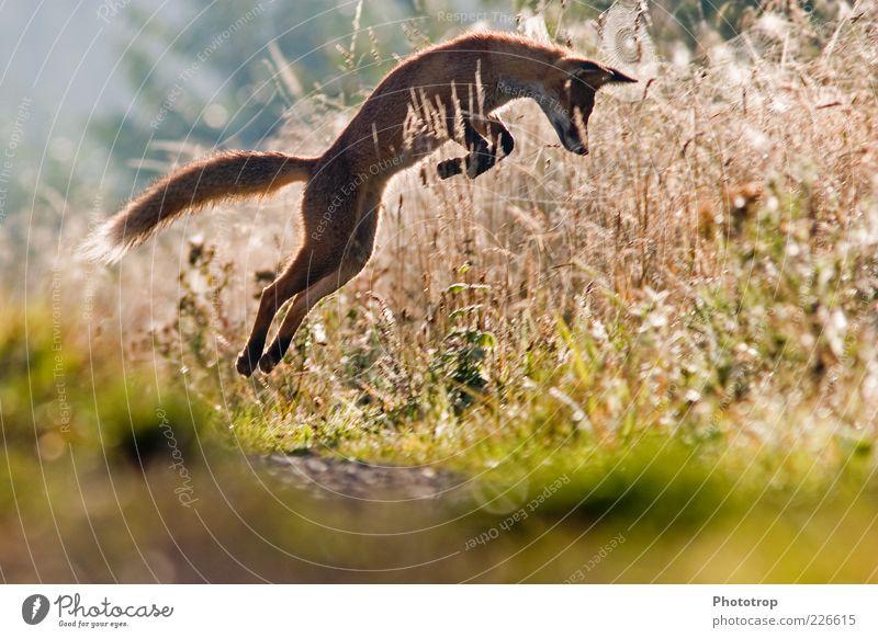 Springen am Morgen Wildtier Fell 1 Tier springen Fuchs Pirsch Rotfuchs Bogen Ohr Gehörsinn fangen Beutejagd erobern Farbfoto mehrfarbig Außenaufnahme