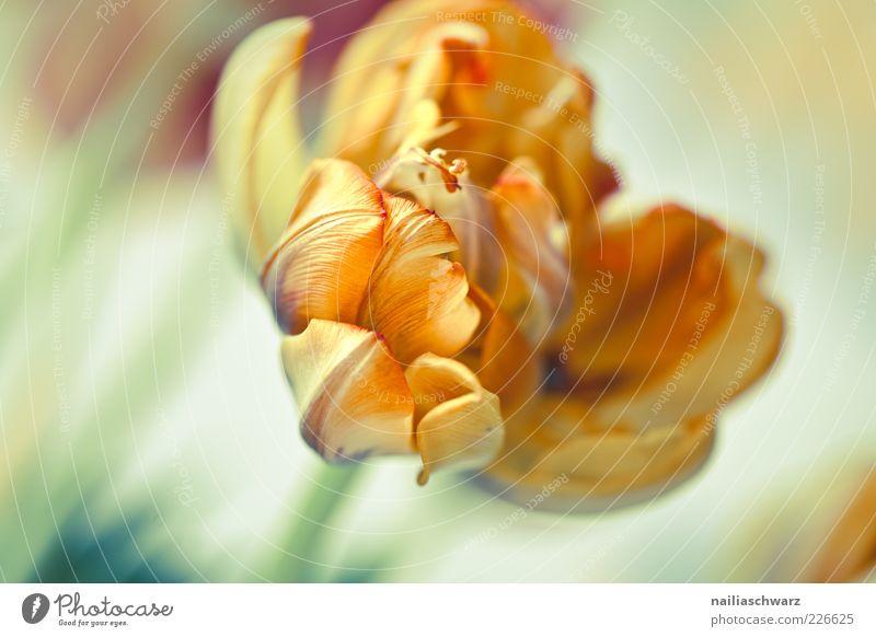 Tulpe Natur Pflanze Blume Blüte orange ästhetisch Blühend Stengel Tulpe verblüht Blütenblatt welk Pastellton Topfpflanze