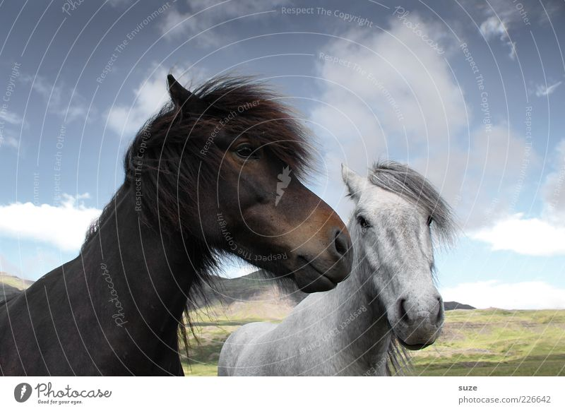 Schwarz-Braun und Weiß-Grau Himmel Natur weiß Tier Wolken schwarz Umwelt natürlich Tierpaar niedlich Schönes Wetter Pferd Neugier Freundlichkeit Tiergesicht Weide