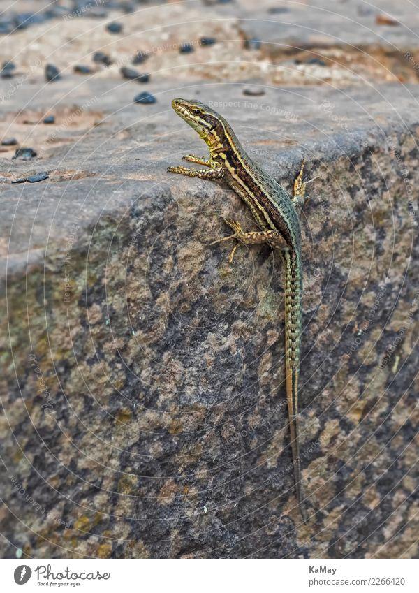 Nahaufnahme einer Mauereidechse Natur Tier Wildtier Eidechse 1 sitzen warten gold grün Wachsamkeit Neugier Echte Eidechsen Reptil Podarcis muralis Wildlife