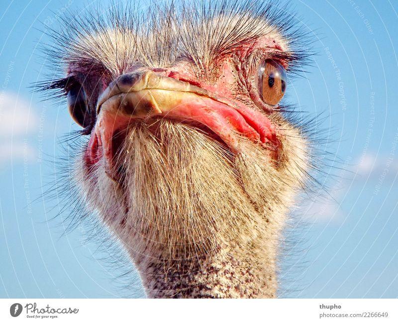 Strauss Portrait Natur Tier Vogel 1 beobachten Denken glänzend leuchten Blick träumen Coolness frech groß Neugier wild blau gold rosa rot schwarz silber weiß
