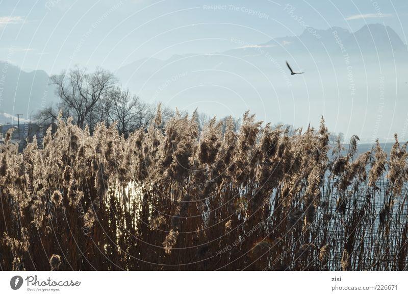 Wintertag Umwelt Natur Landschaft Pflanze Wasser Himmel Wolken Sonnenlicht Schönes Wetter Sträucher Wildpflanze Alpen Gipfel Seeufer fliegen blau braun grün