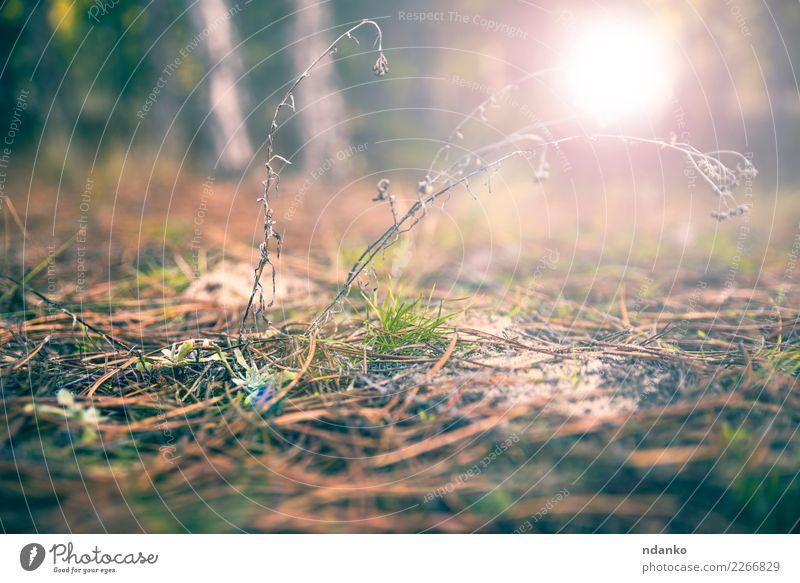 Land der Kiefernadeln und des grünen Grases Sonne Sonnenaufgang Sonnenuntergang Herbst Baum Wald grau Erde Rochen altehrwürdig Farbfoto Menschenleer Abend