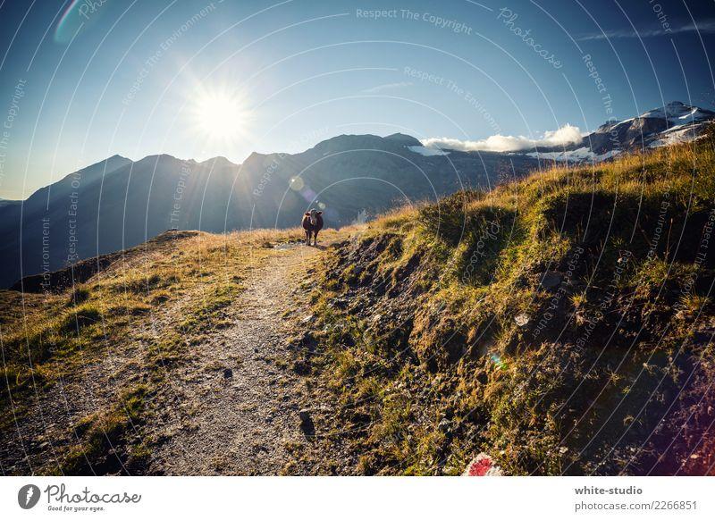 Kuh im Weg Hügel Felsen Alpen Berge u. Gebirge Nutztier Wildtier 1 Tier wandern Bergsteigen Farbfoto Außenaufnahme